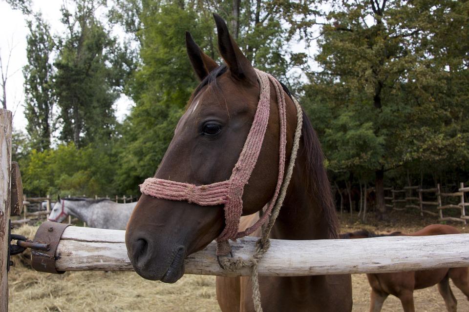 Hungary, Horse, Head, Animal, Nature, Farm, Ride