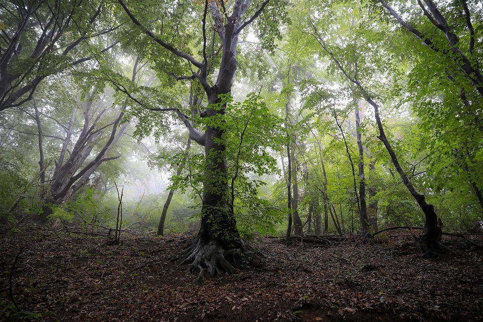 Forest, Leafy Forest, Fog, Beech, Nature, Hungary