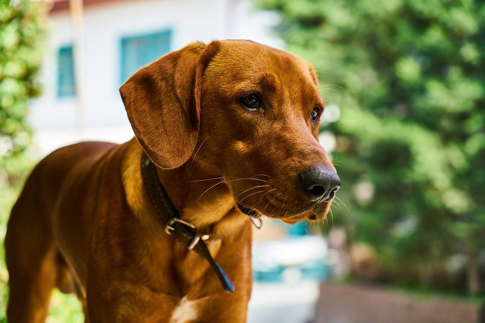 Dog, Brown, Hunt, Animal, Fur Leather, Portrait, Nose