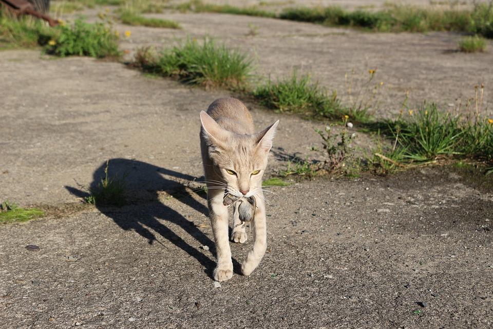 Cat, Hunt, Pinch, Predator, Domestic Cat, Animal