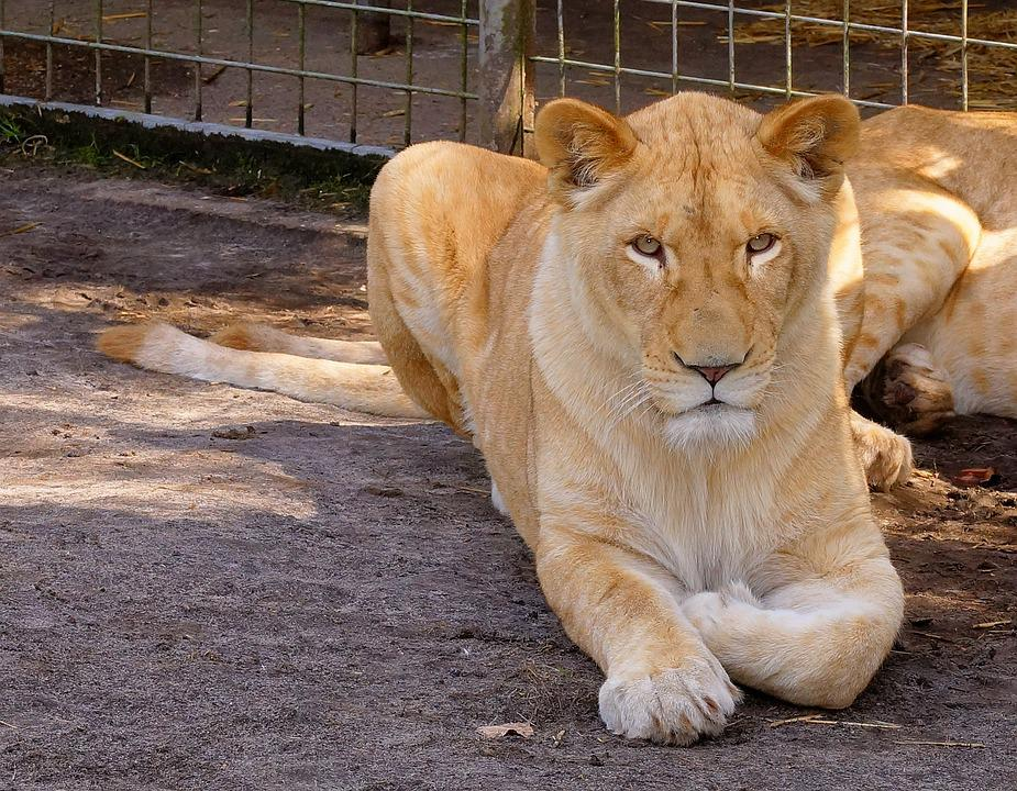Cat, Lioness, Animal World, Mammal, Carnivores, Hunter