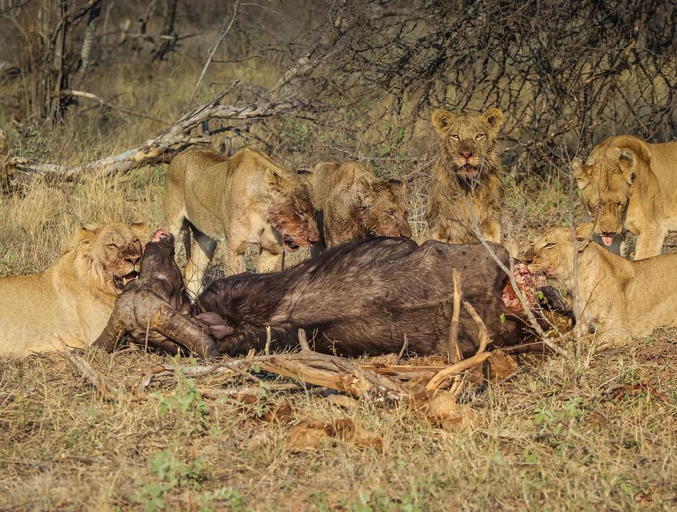 Lion, Mammal, Wildlife, Feline, Lioness, Hunter