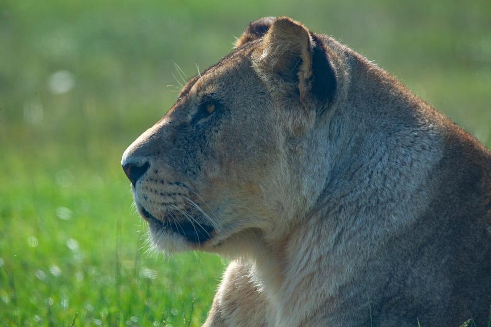 Lioness, Laying, Hunter, Pack, Lion, Feline, Carnivore