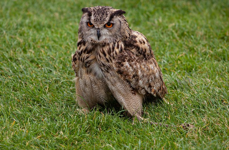 Owl, Tawney Owl, Feathers, Hunter, Raptor, Nature