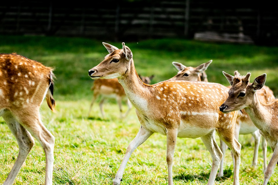 Doe, Hart, Herd, Nature, Animals, Forest, Hunting