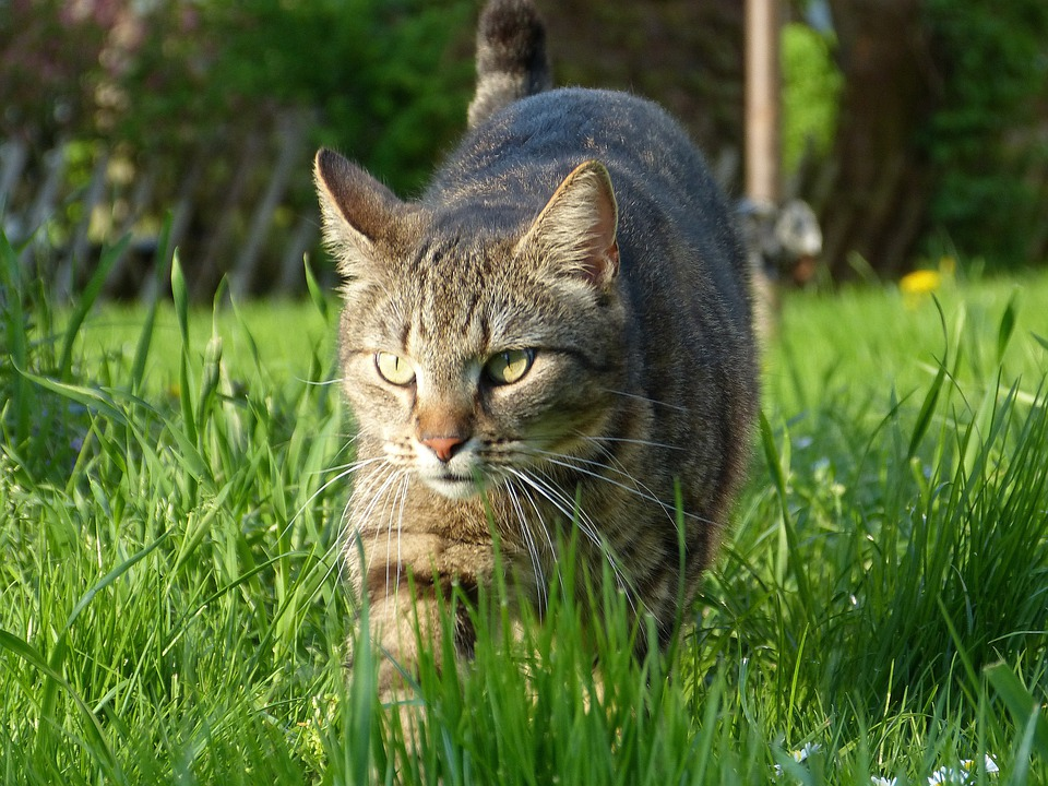 Cat, Nature, Grass, Meadow, Green, Hunting