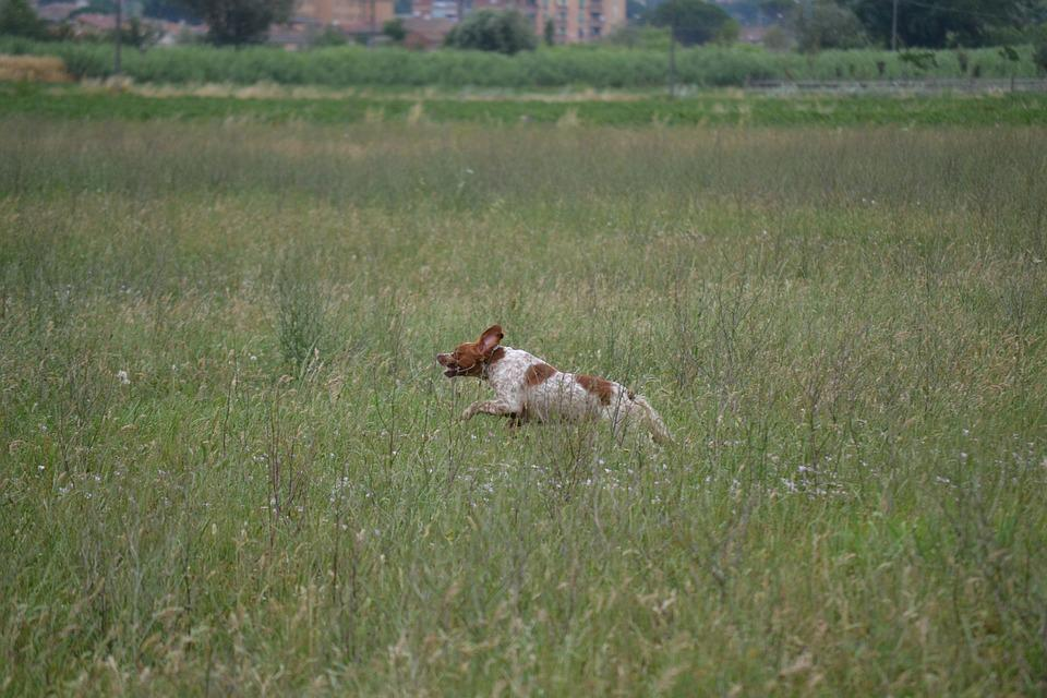 Epagneul Breton, Hunting, Dog, Test For Dogs