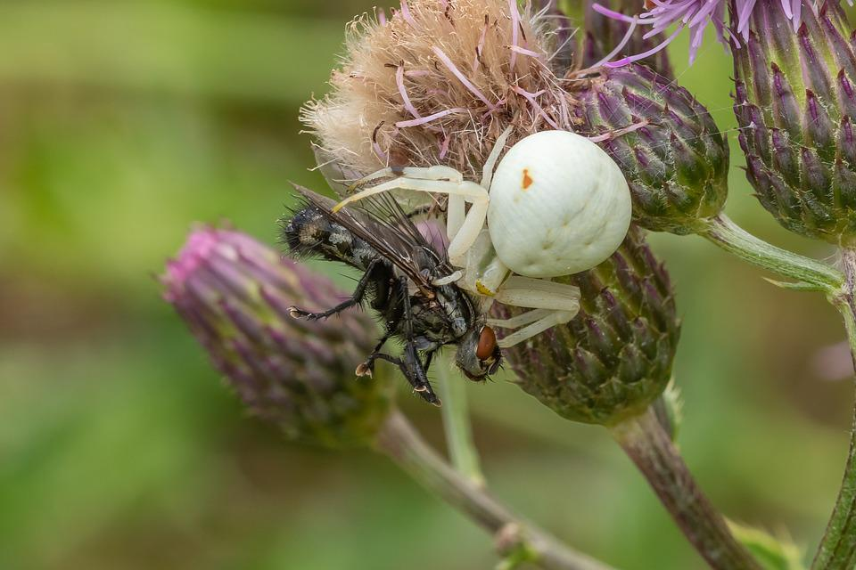 Dorsata, Spider, Fly, Prey, Close Up, Eat, Hunting