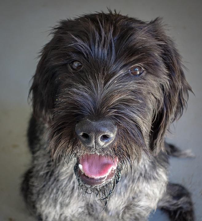 Dog, Black Dog, Hunting Dog, German Wire Hair, Hunting