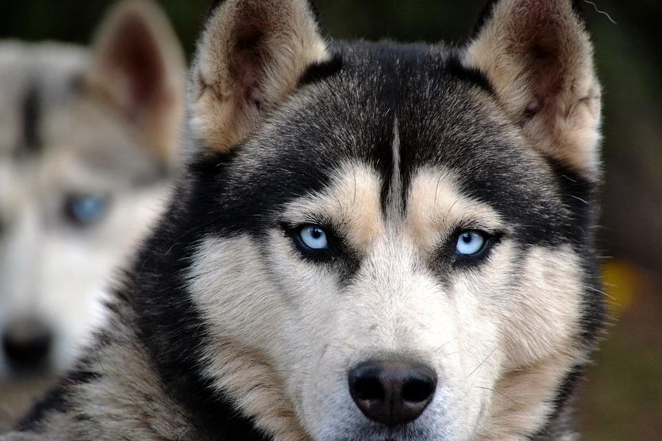 Dog, Huskies, Animal, Eyes, View