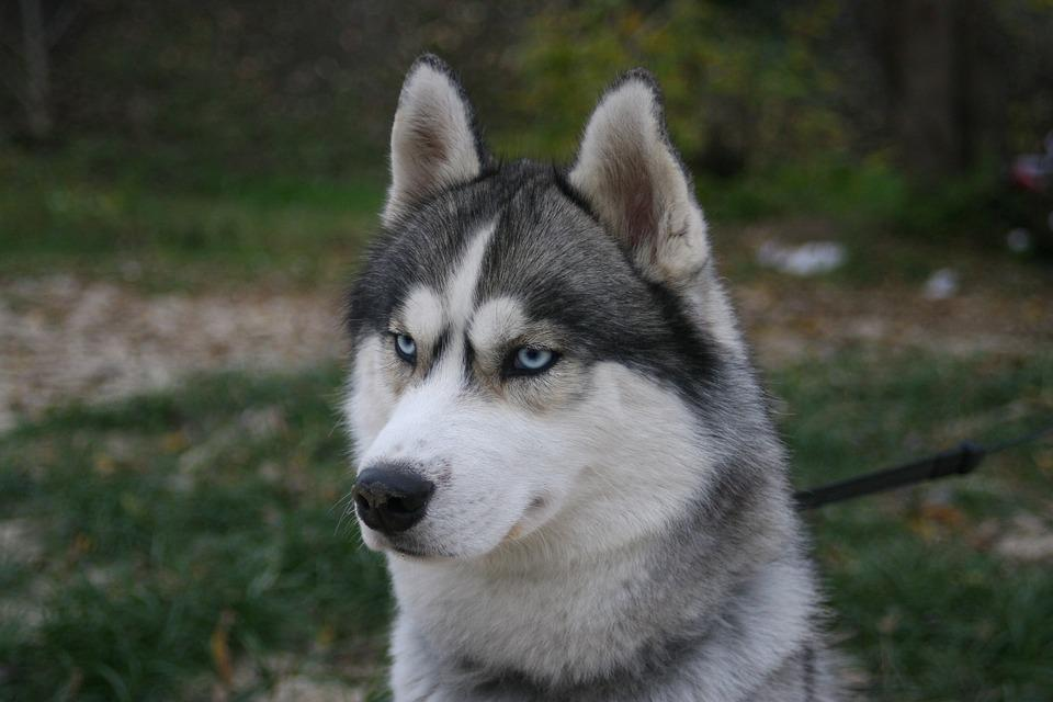 Husky, Blue Eyes, Breeds Of Dogs, Dog, Animal, Siberian