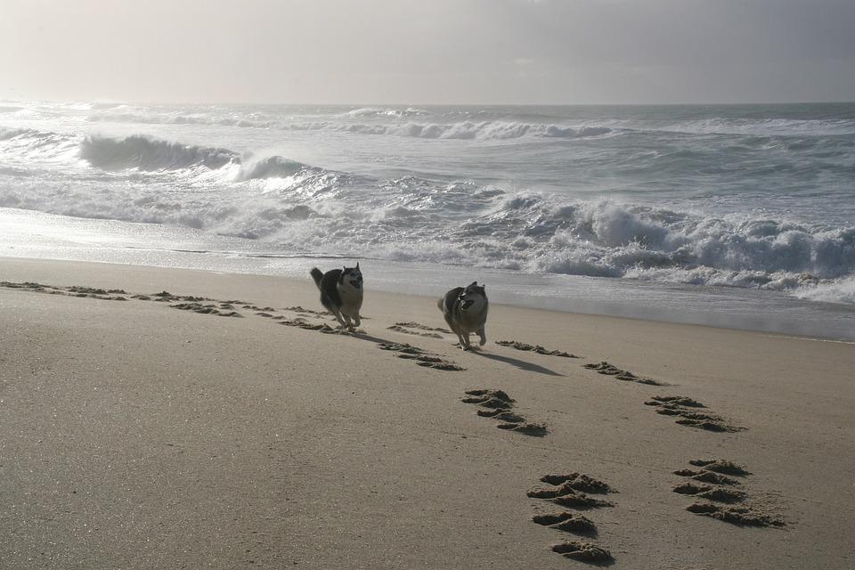 Dogs Running, Husky, Galician Beach