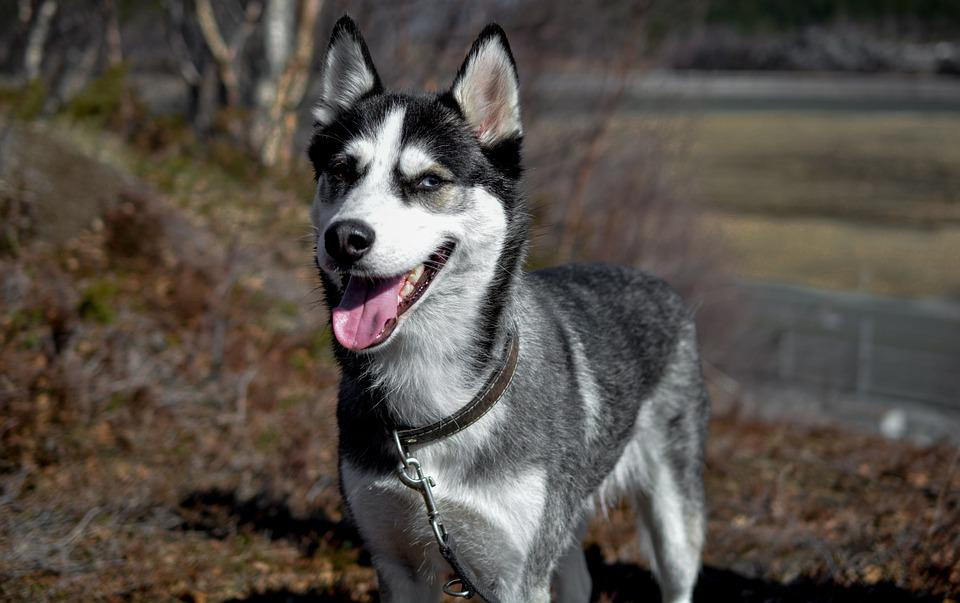 Husky, Dog, Siberian Husky, Laughing Dog, Laugh