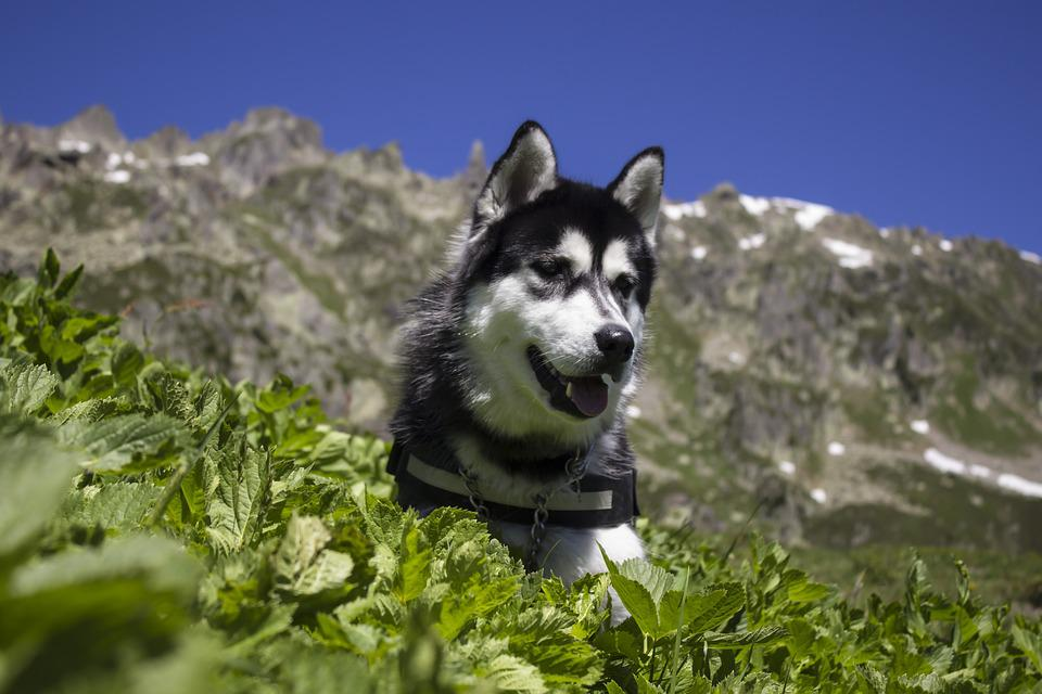 Husky, Dog, Pet, Canine, Purebred, Siberian, Summer