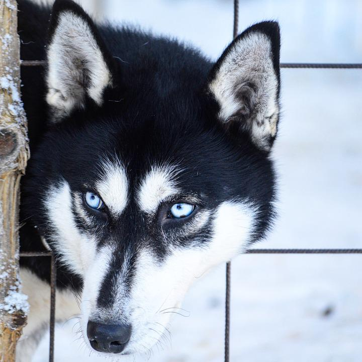 Free Photo Husky Snow Dog Siberian Husky The Eyes Winter Max Pixel