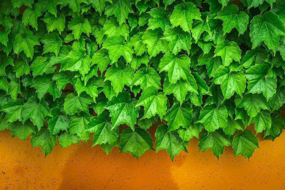 Ivy, Vine, The Leaves, Plants, Hwalyeob, Nature, Damme