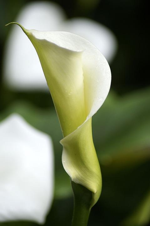 Aethiopica, Calla, Hy, Lily, Striking, White, Flower