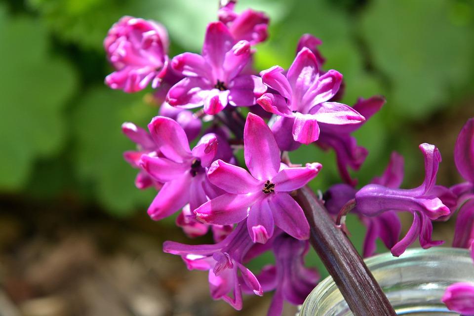 Hyacinth, Flower, Spring Flower, Fragrant Flower