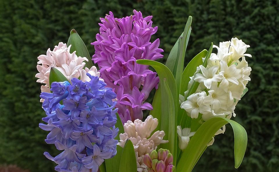 Hyacinth, Frühlingsblüher, Spring, Hyazinthus