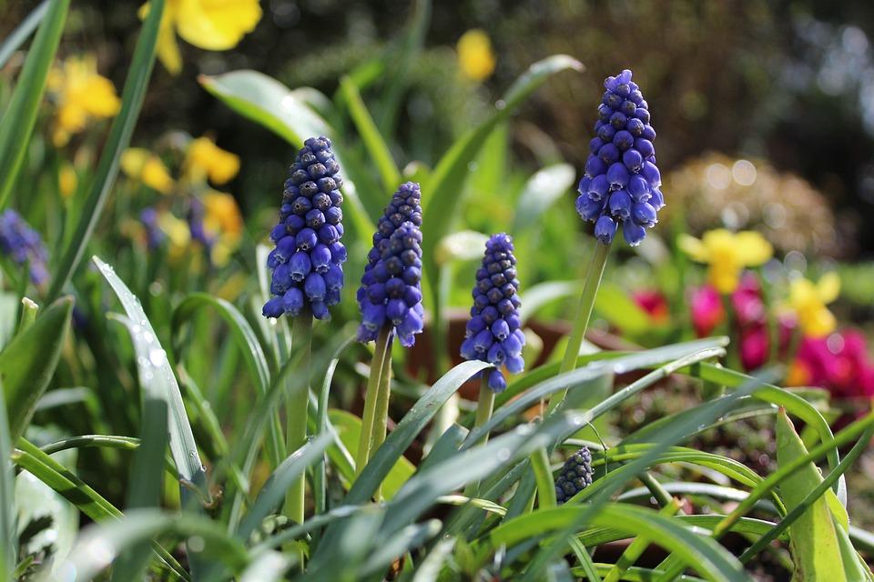 Hyacinth, Garden, Garden Flowers, Spring