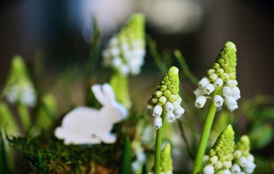 Hyacinth, Grape Hyacinth, White Grape Hyacinths