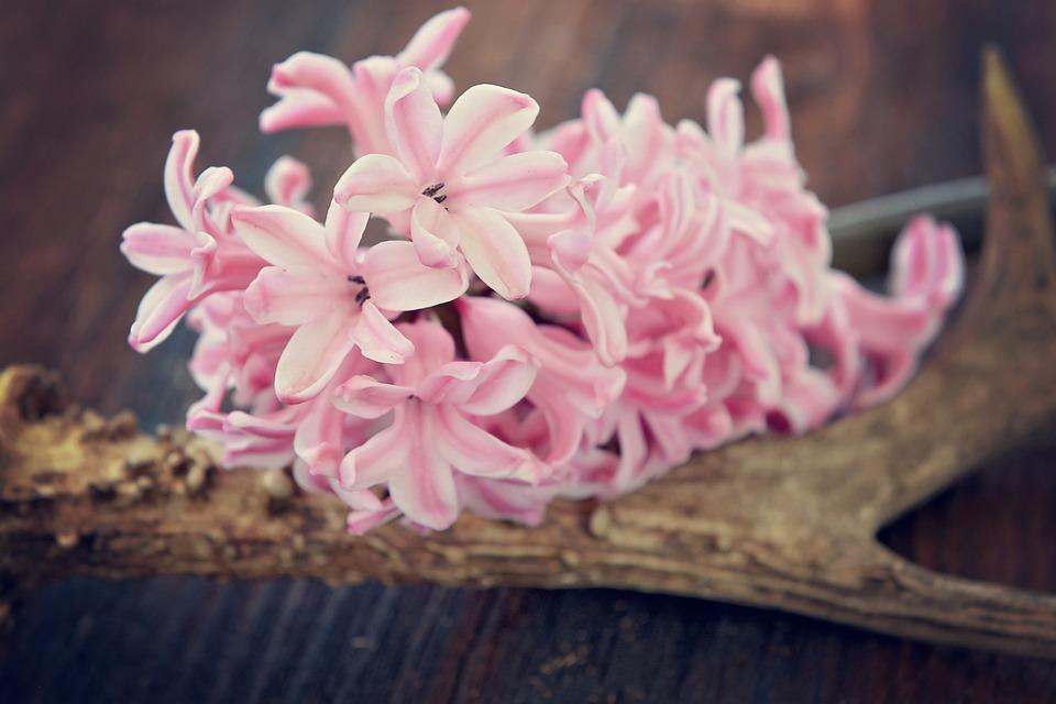 Hyacinth, Flower, Flowers, Pink, Fragrant Flower