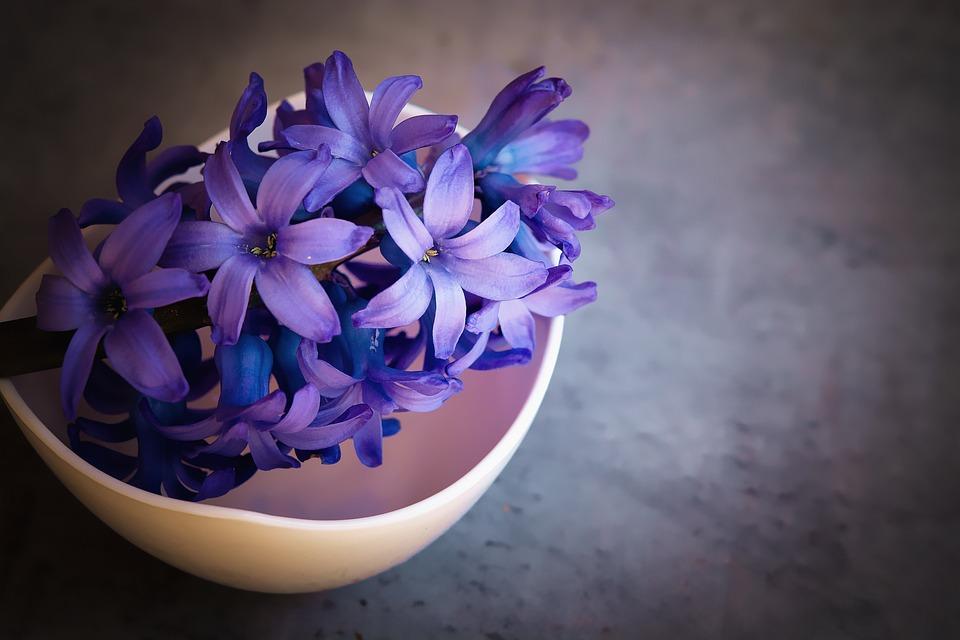 Hyacinth, Flower, Blue, Violet, Flowers, Close Up