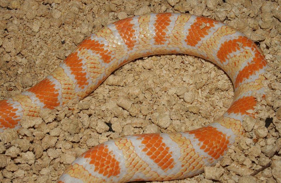 Snake, Reptile, Jungle Corn, Hybrid