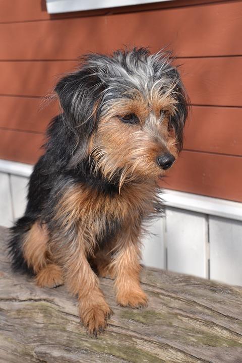 Dog, Terrier, Wiener Yorkshire, Hybrid, Pet, Animal