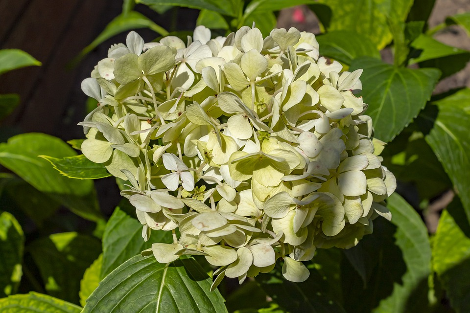 Hydrangea, White, Flower, Flowers, Blooms At
