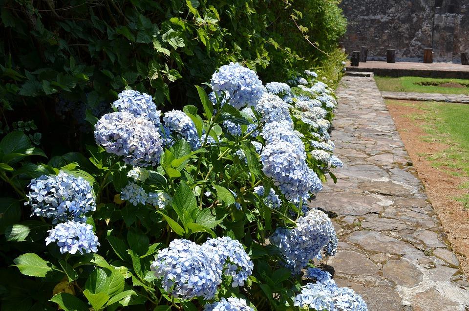 hydrangea flower floral nature garden blossom