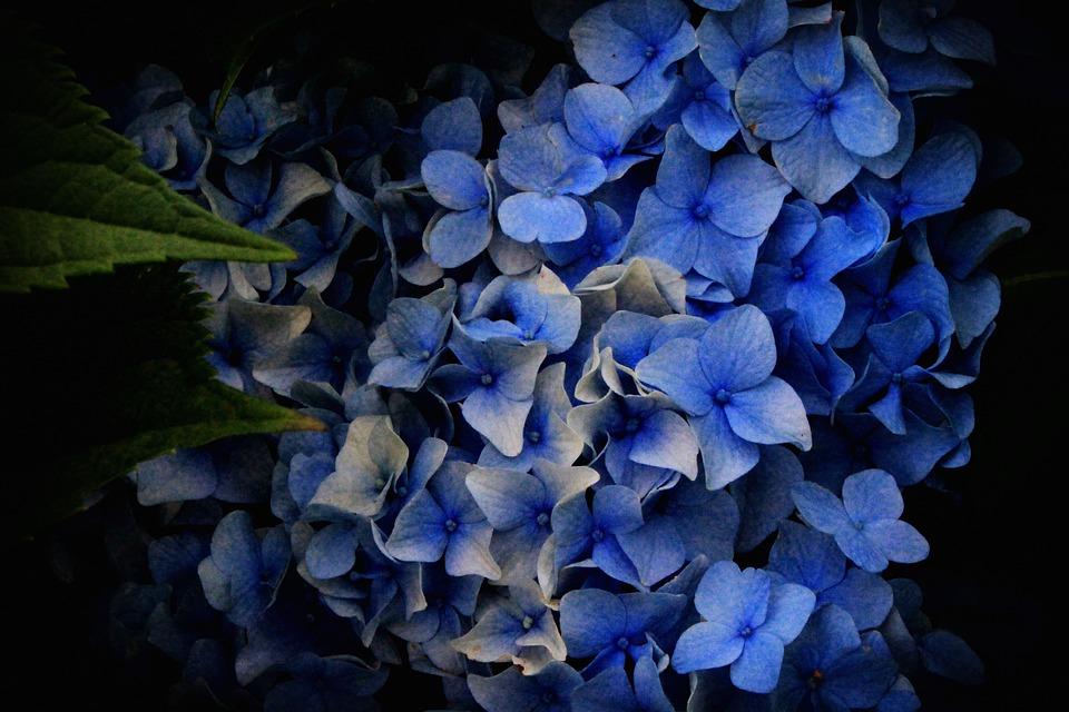 Hydrangea Blue, Flowers, Blue Flowers