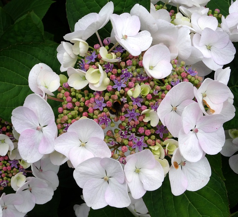 Blossom, Bloom, Hydrangea, Hummel, Close, White, Blue