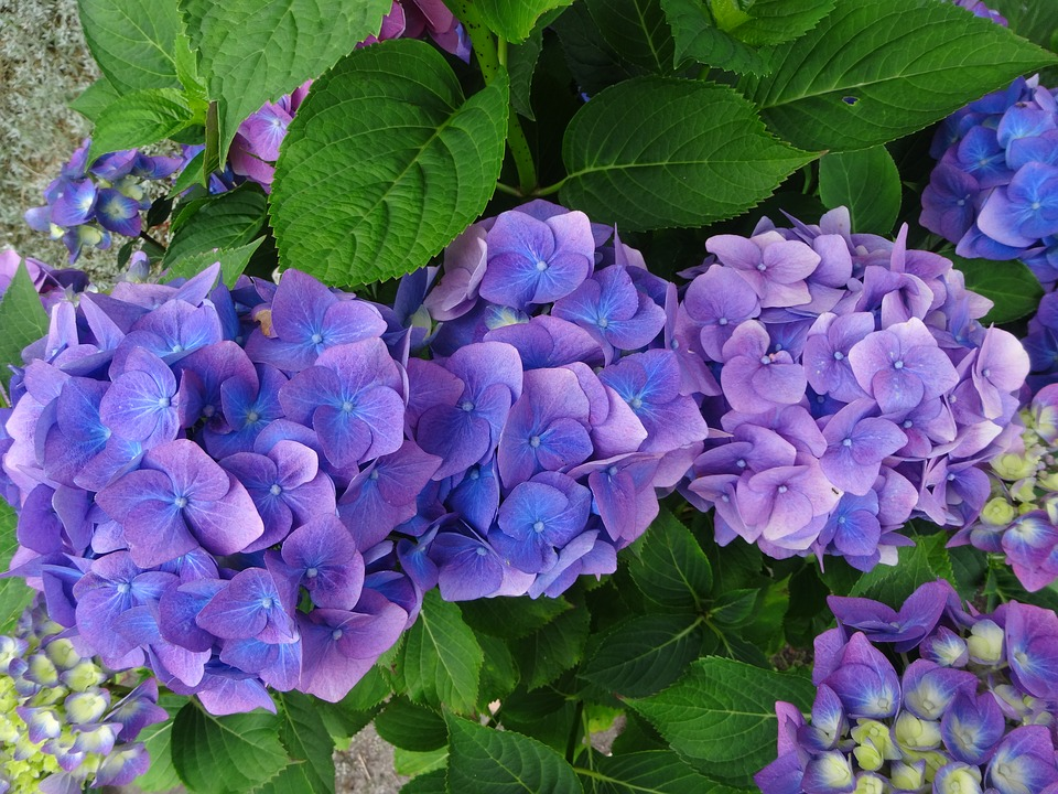 Hydrangea, Blue, Purple, Perennial
