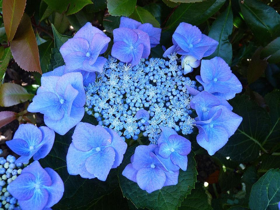 Plate Hydrangea, Hydrangea, Blue, Garden