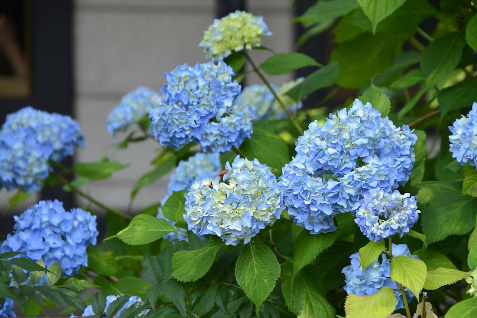 Flower, Hydrangea, Blue, Floral, Nature, Purple, Spring