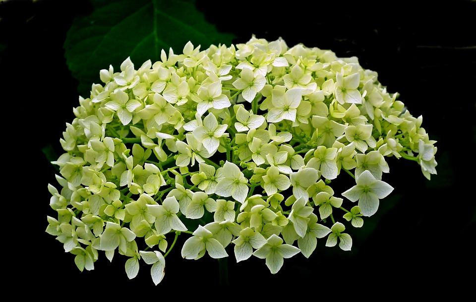 Hydrangea, Flower, Summer, Garden, Clear, Macro