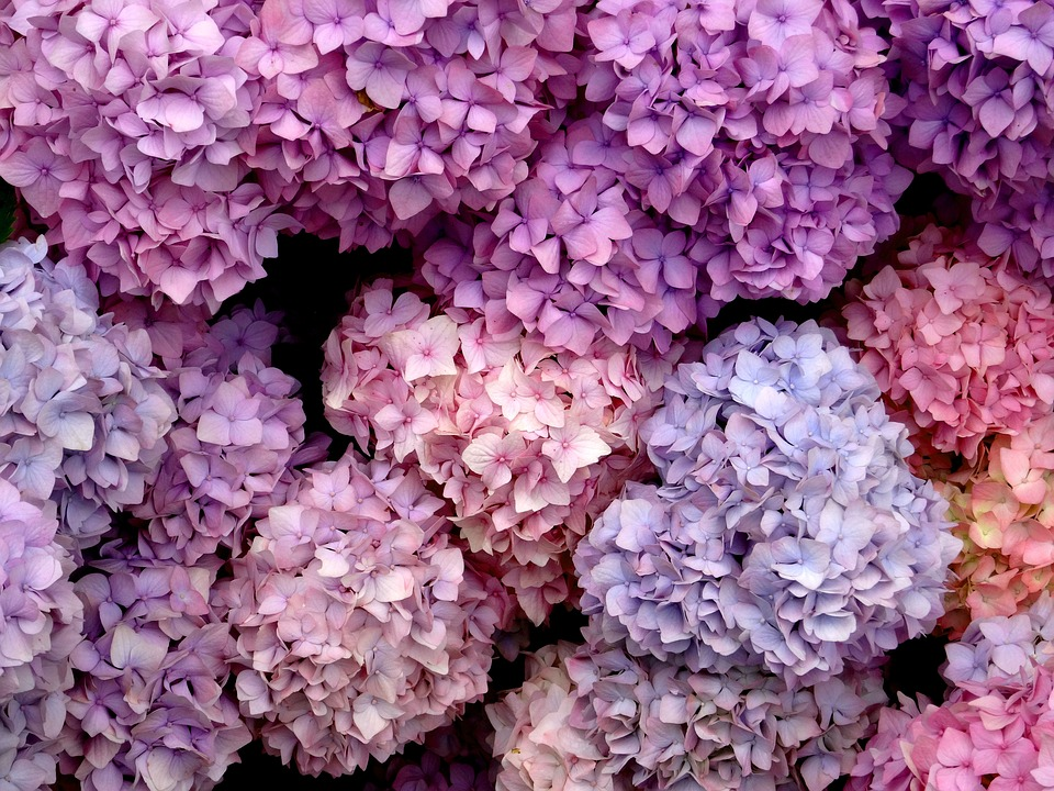 Sea Of Flowers, Blossom, Bloom, Hydrangea, Close, Blue