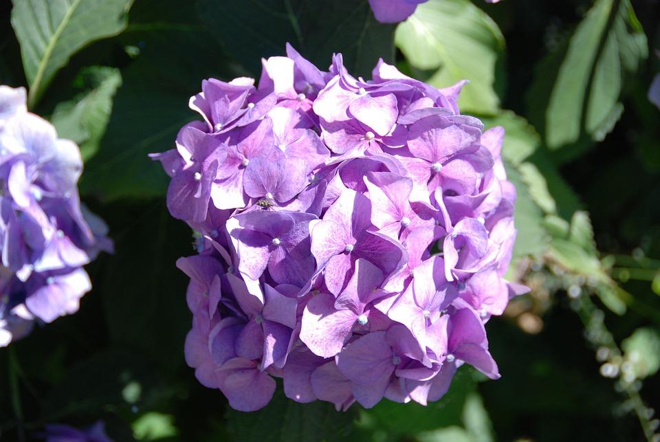 Hydrangea, Flower, Blossom, Bloom, Flora, Summer