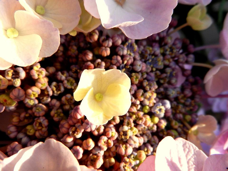 Hydrangea, Flower, Blossom, Rosa, Romantic, Flora