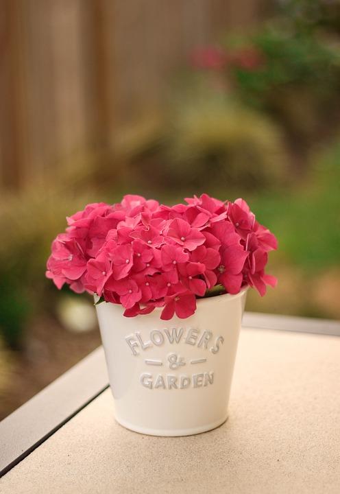 Fresh, Flower, Pink, Hydrangea, Nature, Spring