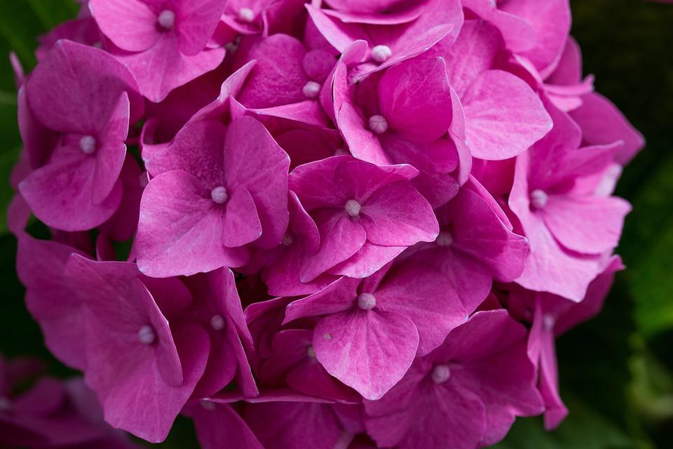 Hydrangea, Blossom, Bloom, Hydrangea Flower, Leaves