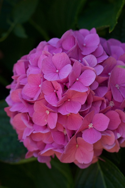 Flower, Nature, Rose, Hydrangea, Petal, Summer, Garden