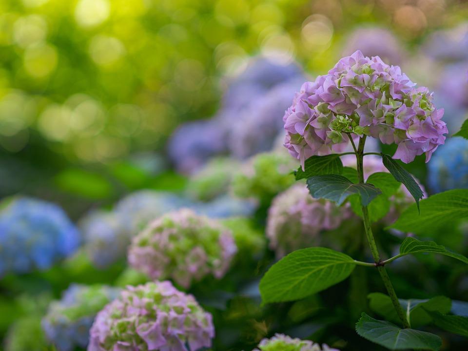 Hydrangeas, Hydrangea Flowers, Flower, Bush