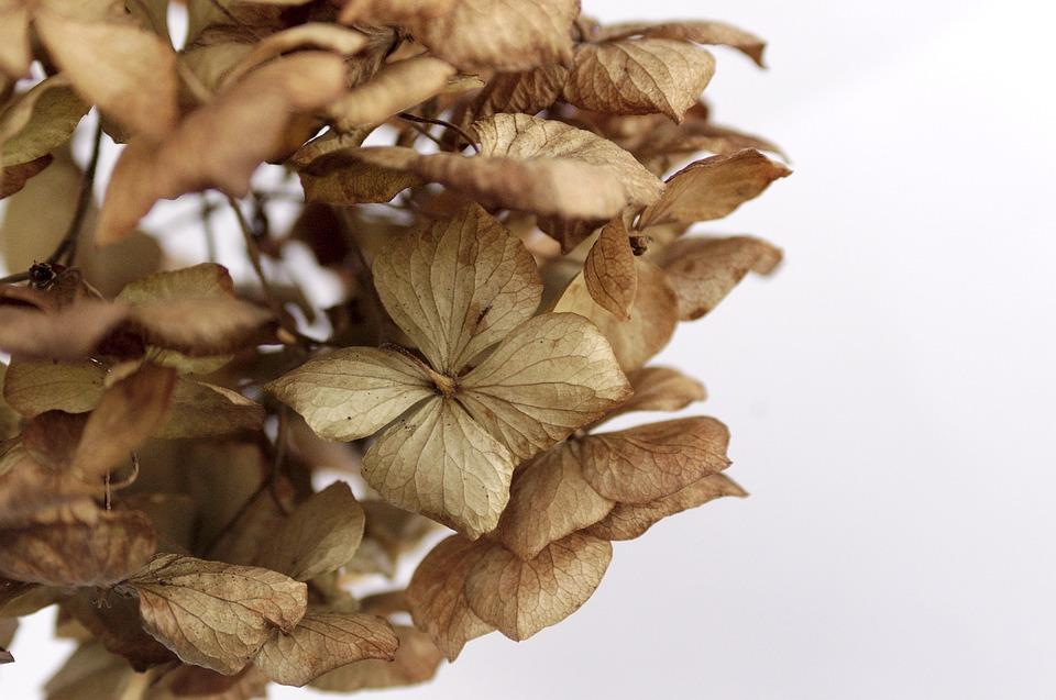 Hydrangea, Dead, Flowers, Brown, Leaf, Nature, Plant