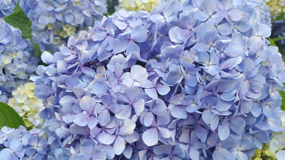 Hydrangea, Flowers, Nature, Petal, Blossom, Plants