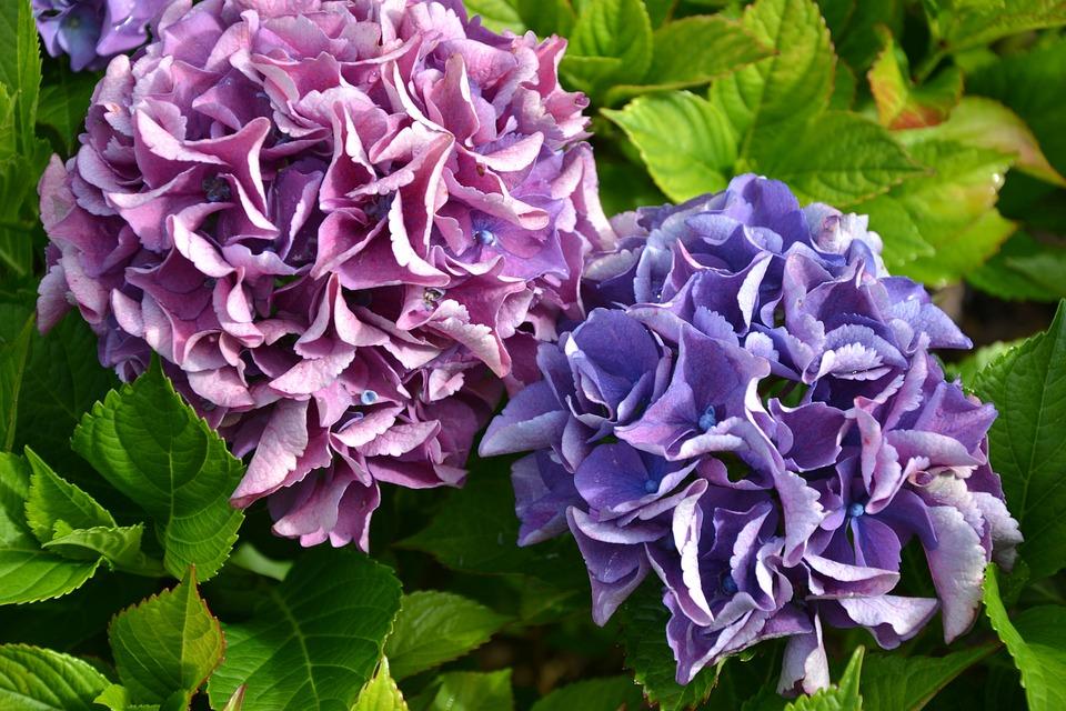 Hydrangea, Purple, Green, Autumn, Flowers, Garden