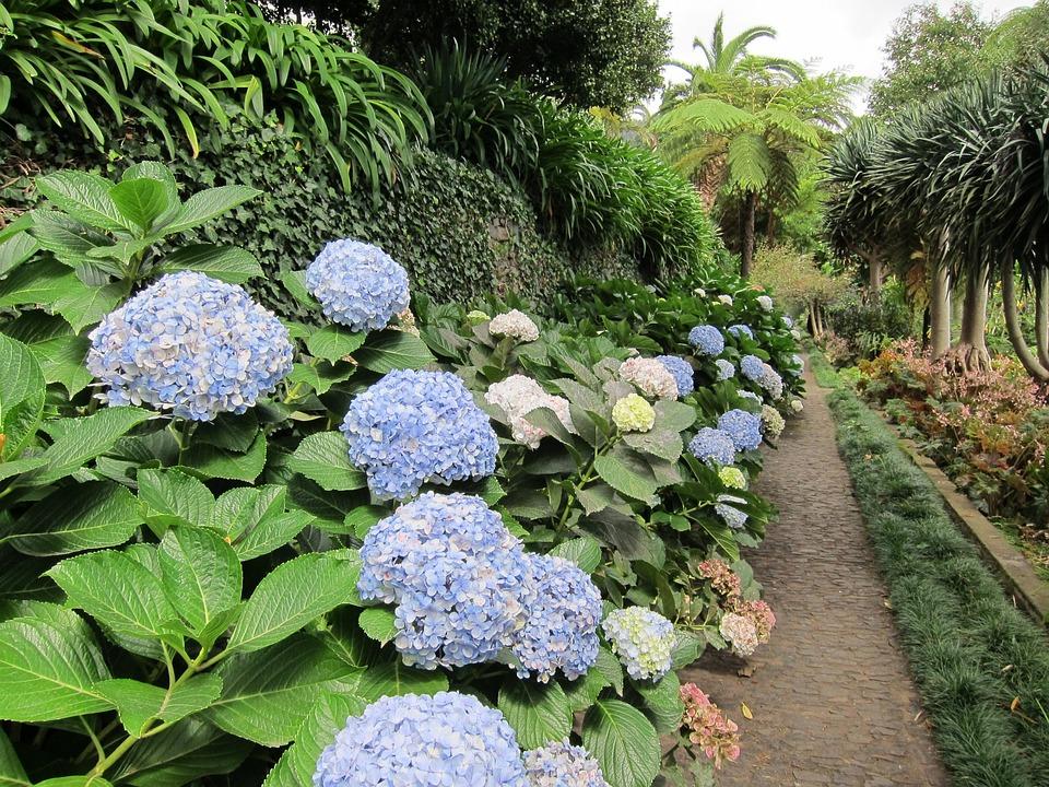 Hortensia, Hydrangea, Flower, Plant, Floral, Nature