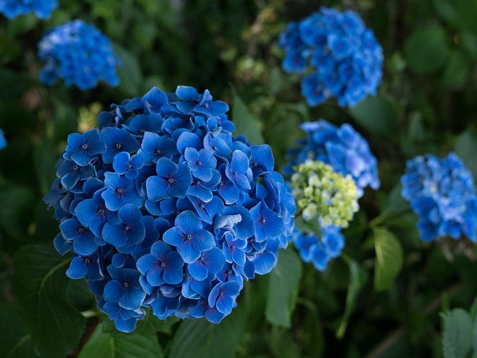 Hydrangea, Flowers, Rainy Season, Plant, Natural