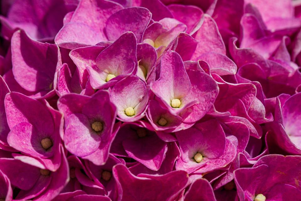 Hydrangea, Pink Flowers, Hydrangea Flowers, Nature